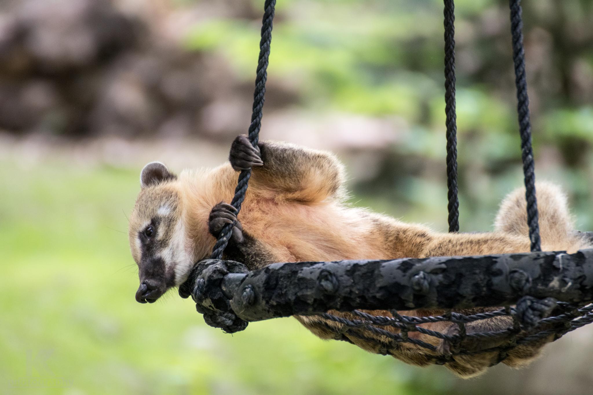Nasenbär im Tierpark Hirschfeld