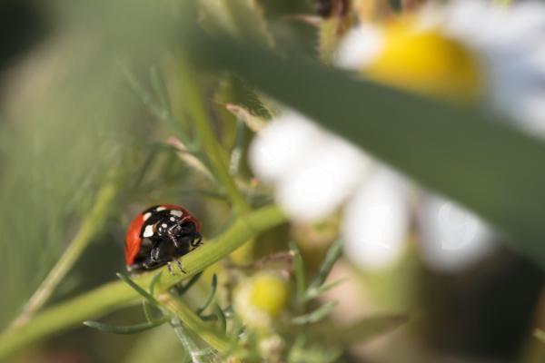 Marienkäfer krabbelt einen Pflanzenstengel hinauf