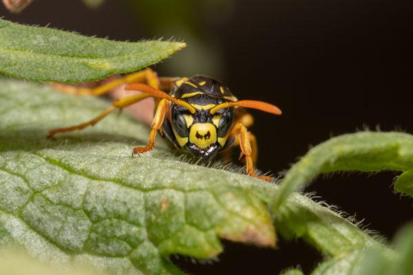 Makro einer Wespe auf einem Blatt