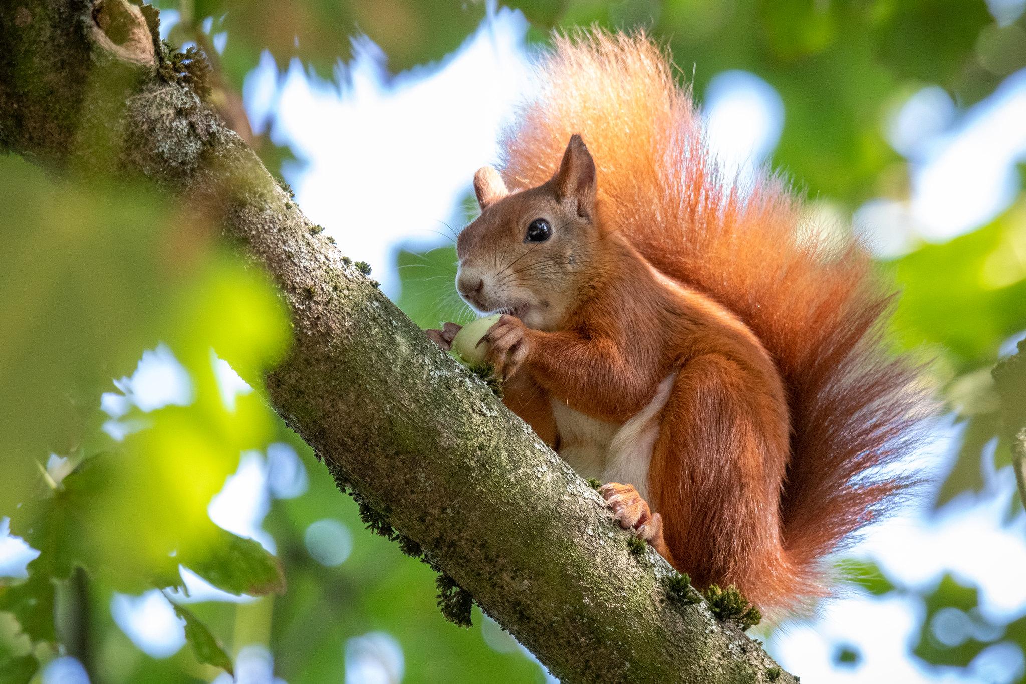 Eichhörnchen fressend auf einem Baum